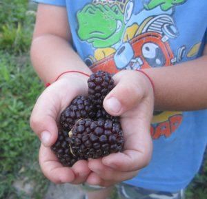 Гибрид малины и ежевики Бойсенберри