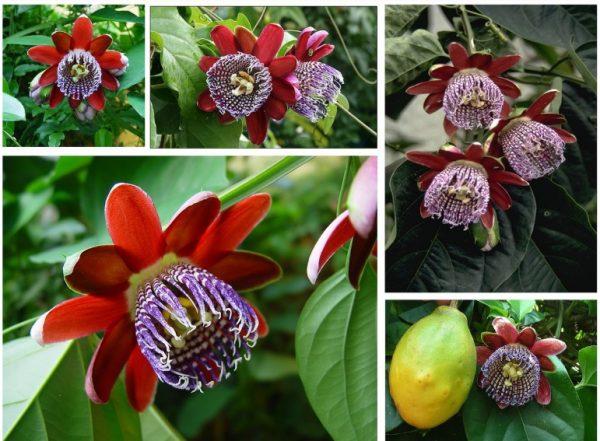 Пассифлора Алата маракуйя (Passiflora alata)