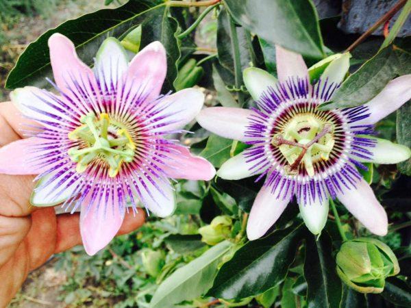 Пассифлора Белоти. Passiflora Belotti. Красивоцветущая плодовая лиана