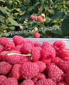 Малина Брусиловский стандарт