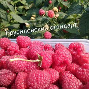 Малина Брусиловский стандарт - это новый сорт высокоурожайной ремонтантной малины