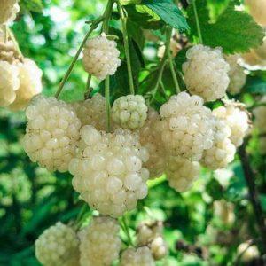 Ежевика с белой ягодой Polar Berry (Полар Берри)