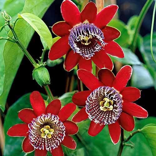 Пассифлора крылатая, Алата или бразильская маракуйя (Passiflora alata)