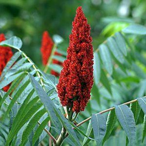 Сумах Оленерогий или Уксусное Дерево