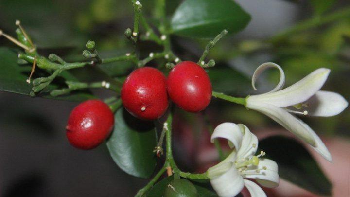 Мурайя: источник красоты и аромата