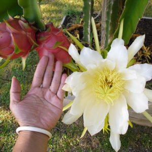 Питахайя — экзотический фрукт причудливой формы со вкусом, напоминающим киви