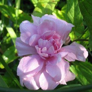 Калистегия сибирская роза
