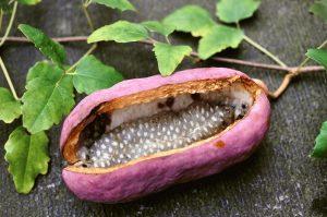 Акебия плодит