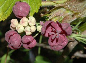 Акебия цветет
