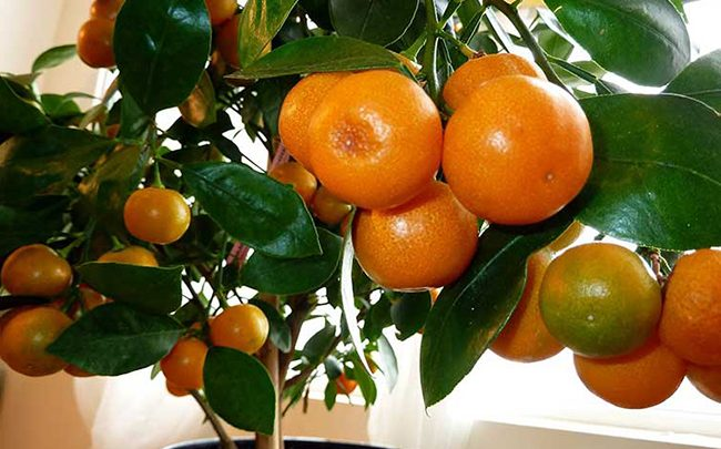 Апельсин вашингтон